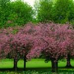 spring_tree_204087